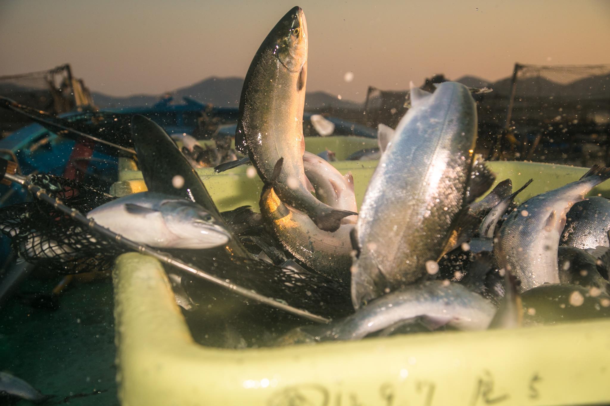 漁師の仕事を知る、短期研修プログラム「牡鹿漁師学校×TRITON SCHOOL – 銀鮭養殖編 – 」開催!